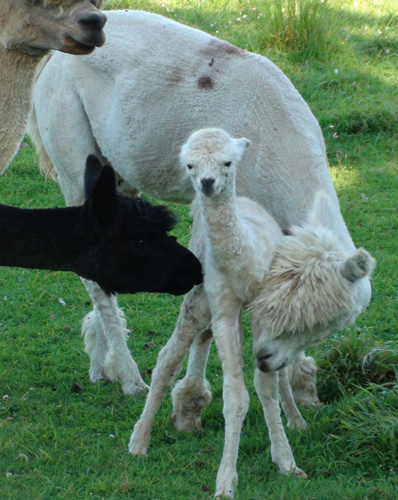 Poppy with cria