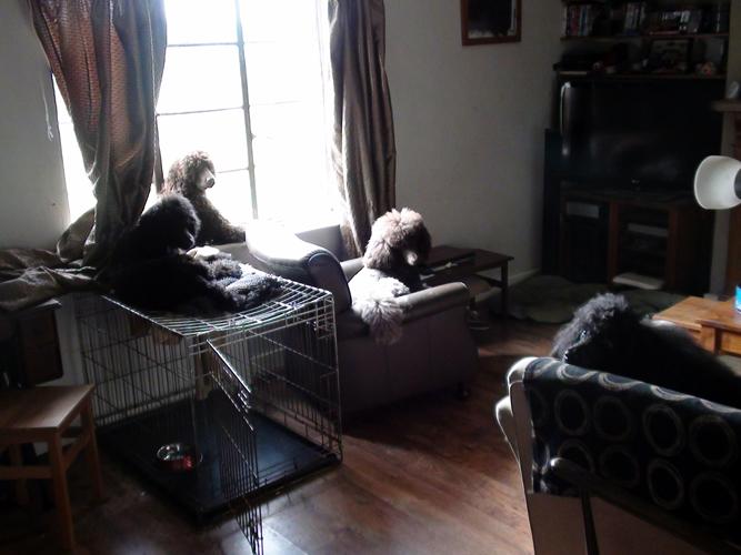 Poodles indoors